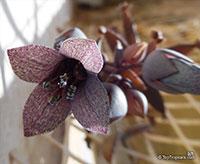 Bryophyllum beauverdii, Kalanchoe beauverdii, Kalanchoe  Click to see full-size image