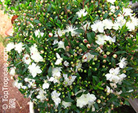 Myrtus communis, True Myrtle  Click to see full-size image