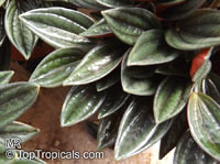 Peperomia caperata, Emerald Ripple Peperomia  Click to see full-size image