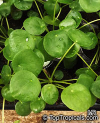 Pilea peperomioides, Chinese Money Plant, Missionary Plant, lefse Plant, Pancake Plant, UFO plant  Click to see full-size image