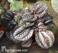 Pilea sp., Pilea  Click to see full-size image