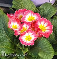Primula sp., Primrose  Click to see full-size image