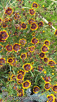 Coreopsis sp., TickseedClick to see full-size image
