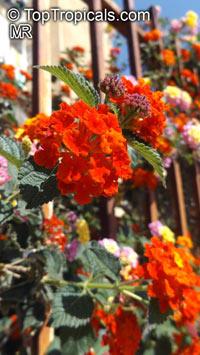 Lantana camara, Bush LantanaClick to see full-size image
