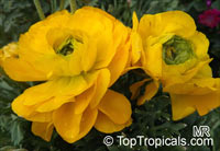 Ranunculus asiaticus, Persian Buttercup  Click to see full-size image