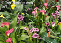 Zantedeschia sp., Arum Lily, Calla Lily  Click to see full-size image