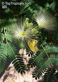 Albizia sp., Albizia  Click to see full-size image