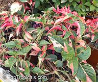 Alternanthera ficoidea, Calico Plant, Joseph's Coat, Joyweed  Click to see full-size image