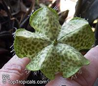 Ceropegia sandersonii, Parachute Plant, Umbrella Flower  Click to see full-size image