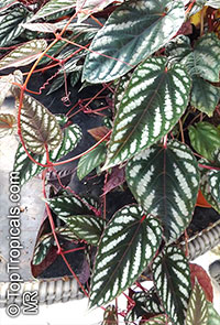 Cissus discolor - Rex Begonia Vine  Click to see full-size image