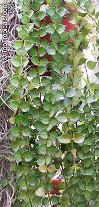 Dischidia ruscifolia, Million Hearts  Click to see full-size image