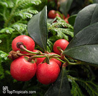 Gaultheria procumbens, Eastern Teaberry, Checkerberry, Boxberry, American Wintergreen  Click to see full-size image