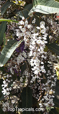 Hardenbergia sp. , Coral PeaClick to see full-size image