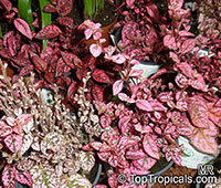 Hypoestes phyllostachya, Hypoestes sanguinolenta, Polka Dot plant  Click to see full-size image