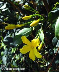 Jasminum humile, Jasminum giraldi, Italian Jasmine  Click to see full-size image
