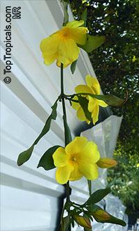 Jasminum mesnyi, Jasminum primulinum, Japanese Jasmine, Primrose Jasmine  Click to see full-size image