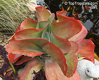 Kalanchoe luciae, Paddle Leaf, Flapjacks, Desert Cabbage  Click to see full-size image