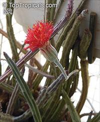 Kleinia stapeliiformis, Senecio stapeliiformis, Pickle Plant  Click to see full-size image