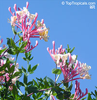 Lonicera x heckrottii, Everblooming Honeysuckle, Gold Flame Honeysuckle  Click to see full-size image