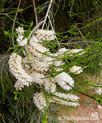 Melaleuca huegelii, Chenille Honey-myrtle  Click to see full-size image