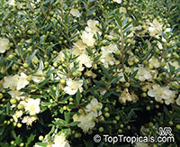 Myrtus communis, True Myrtle  Click to see full-size image