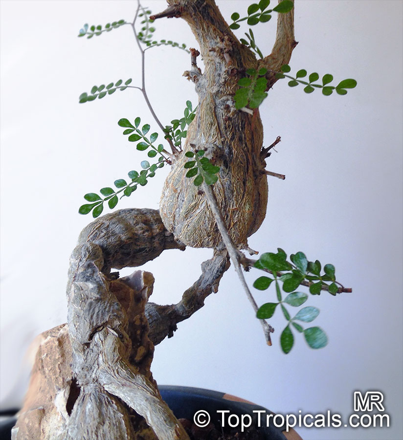 Operculicarya Decaryi Jabily Elephant Tree Toptropicals Com