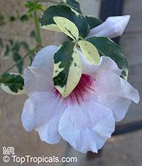 Pandorea jasminoides, Bignonia jasminoides, Tecoma jasminoides, Pandora vine, Bower vine, Southern Bell  Click to see full-size image