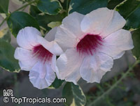 Pandorea jasminoides - Variegated Pandora vine  Click to see full-size image
