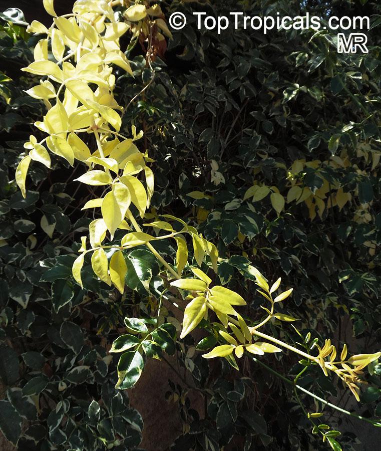 pandora jasmine alba