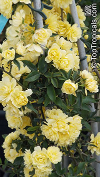 Rosa banksiae, Lady Banks Rose  Click to see full-size image