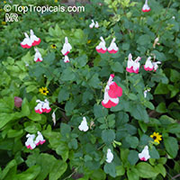 Salvia microphylla Hot Lips, Salvia Hot Lips, Hot Lips Littleleaf Sage  Click to see full-size image