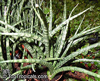 Sansevieria sp., Mother-in-law's Tongue, Devil's Tongue, Jinn's Tongue, Bow String Hemp, Snake Plant  Click to see full-size image