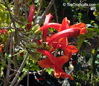 Tecomaria capensis, Tecoma capensis, Cape Honeysuckle  Click to see full-size image