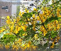 Tipuana tipu, Tipuana speciosa, Machaerium tipu, Machaerium fertile, Yellow jacaranda, Rosewood, Tipu tree, Pride of Bolivia, Racehorse tree, Yellow jacaranda, Mtipia  Click to see full-size image