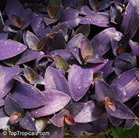 Tradescantia pallida, Setcreasea pallida, Purple heart, Purple queen  Click to see full-size image