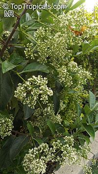 Viburnum odoratissimum, Sweet Viburnum  Click to see full-size image
