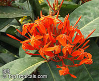 Ixora sp., Jungle flame, Needle flower  Click to see full-size image