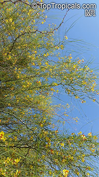 Parkinsonia aculeata, Jerusalem Thorn  Click to see full-size image