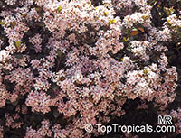 Rhaphiolepis indica, India Hawthorn  Click to see full-size image