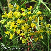 Ruta graveolens - Ruda  Click to see full-size image