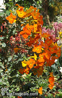 Streptosolen jamesonii, Marmalade Bush, Orange Browallia, Firebush  Click to see full-size image