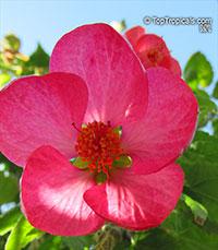 Abutilon x hybridum, Flowering Maple, Weeping Maple,Chinese Lantern  Click to see full-size image