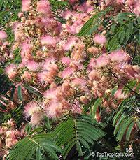 Albizia julibrissin, Silk Tree  Click to see full-size image