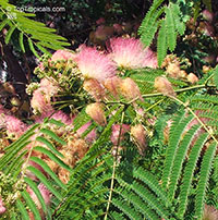 Albizia julibrissin, Silk Tree  Click to see full-size image