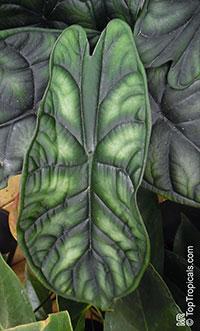 Alocasia baginda, Alocasia Dragon Scale  Click to see full-size image