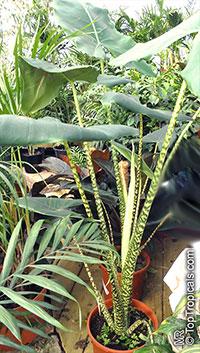 Alocasia zebrina, Tiger Elephant Ear, Elephant Ear Zebra  Click to see full-size image