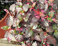 Alternanthera sp., Bloodleaf  Click to see full-size image