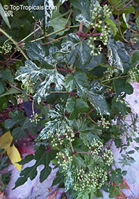 Ampelopsis sp., False Grape, Porcelain Berry  Click to see full-size image