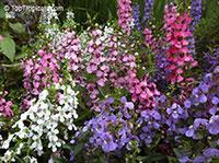 Angelonia angustiflolia, Angelonia goyazensis, Angel Mist, Summer Snapdragon, Angel Flower  Click to see full-size image