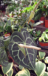 Anthurium clarinervium, White-Veined Anthurium  Click to see full-size image